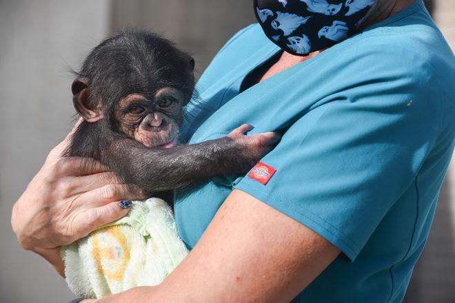 zoo keeper holding baby chimpanzee