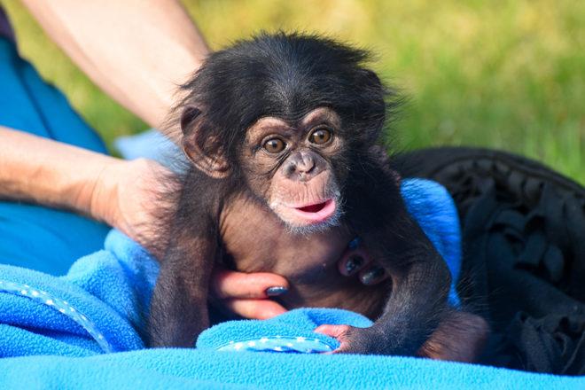 baby chimpanzee on blanket