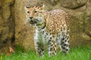amur leopard.