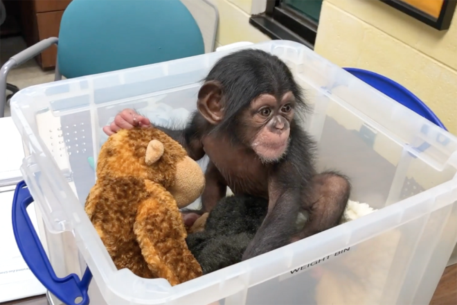 baby chimp with plush in plastic weigh bin