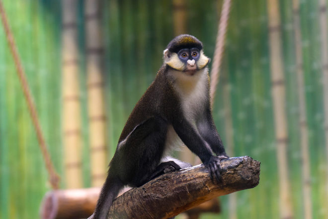 red tailed guenon