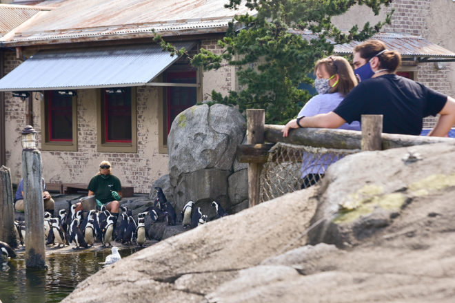 guests watching african penguin feeding