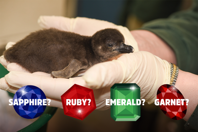 african penguin chick with possible gemstone names