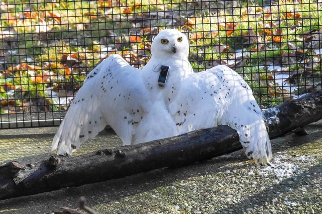Snowy owl with wings spread and tracker on its back.