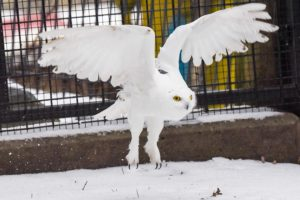 Snowy owl flying with tracker on its back.