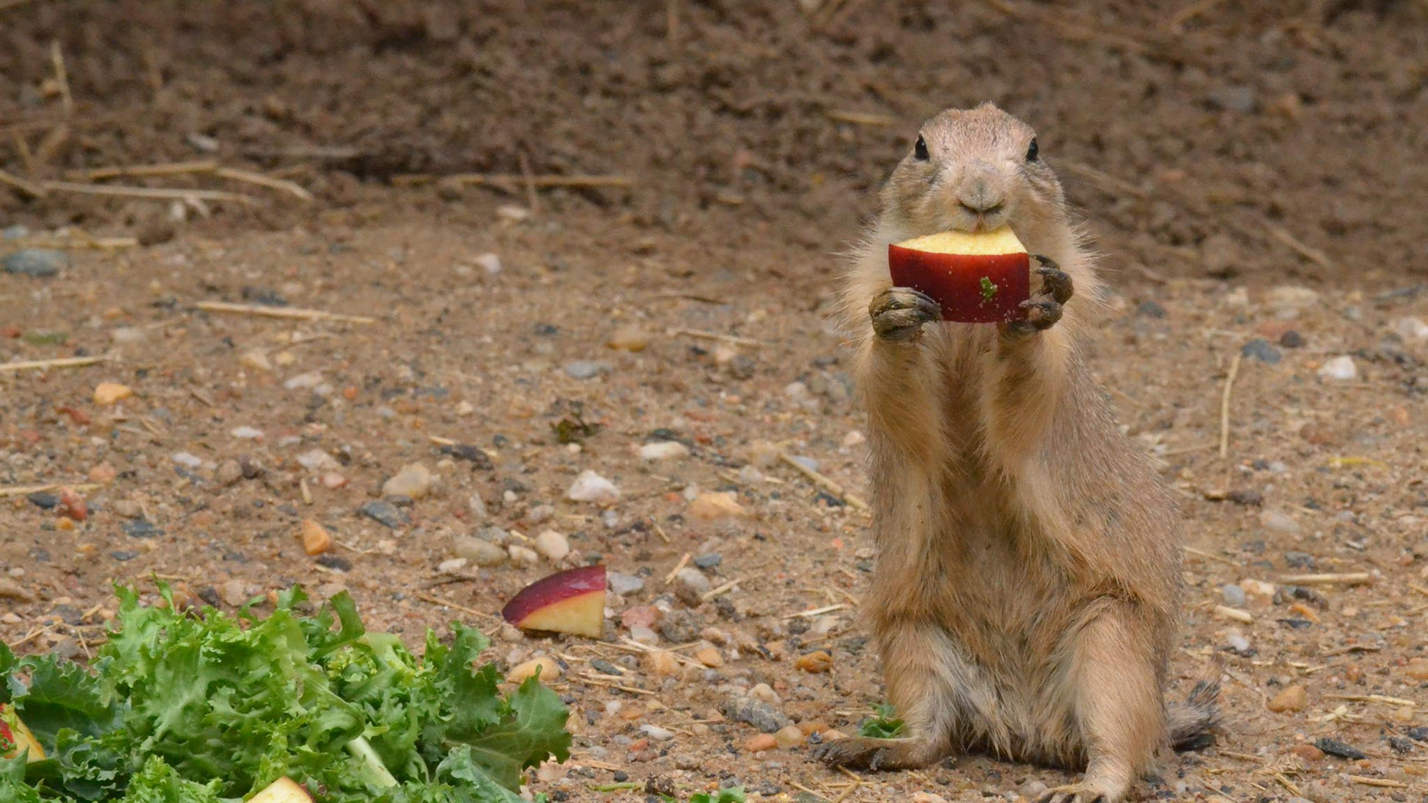 Prairie dog eating an apple.