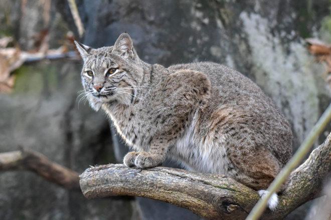 bobcat on tree branch.