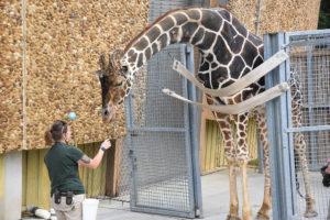 zoo keeper training giraffe.