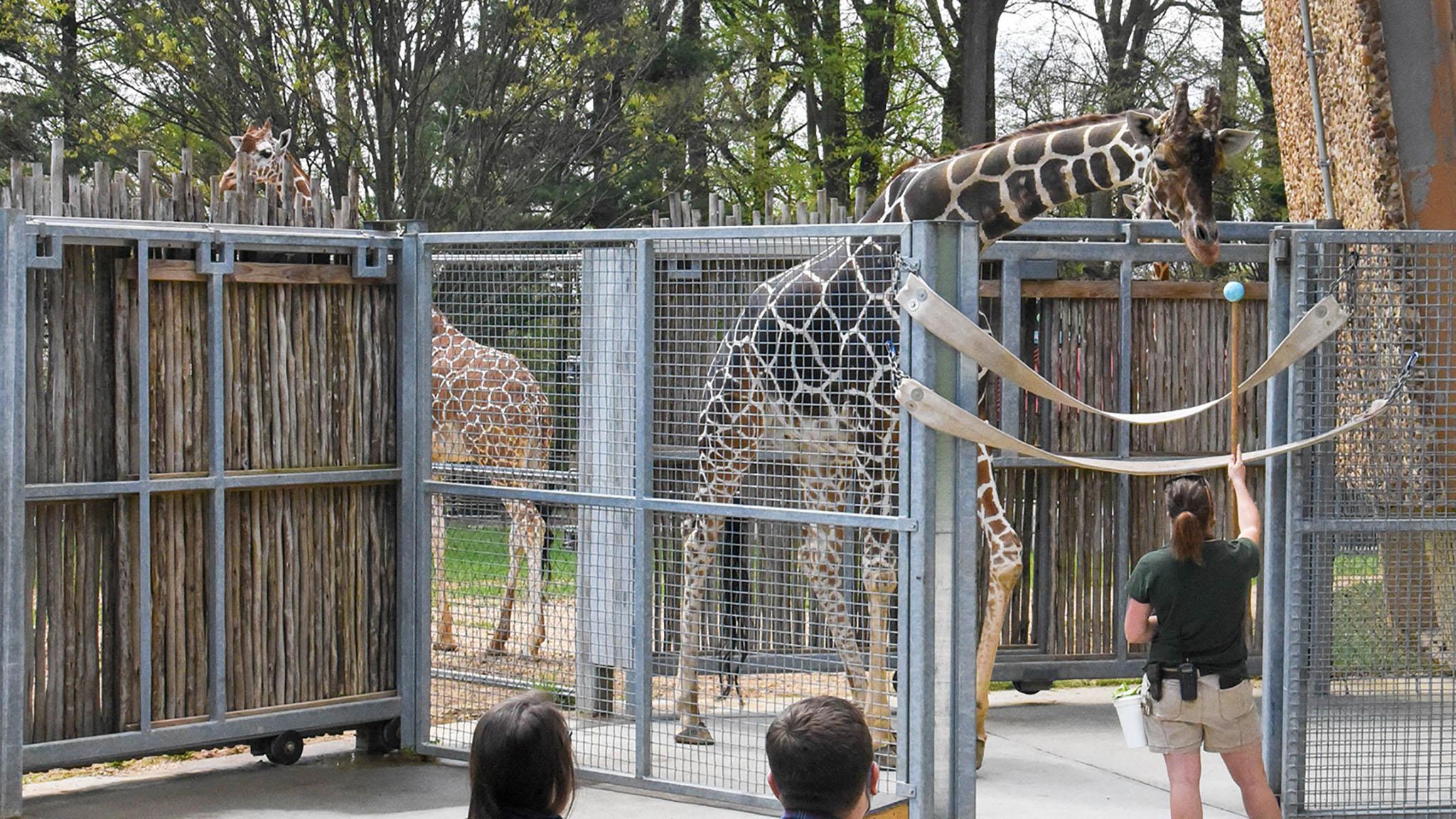 Zoo keeper training giraffe with guests watching.