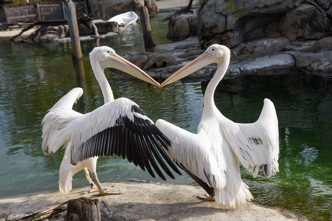 two great white pelicans with wings spread.