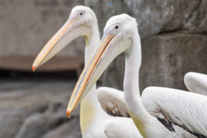 two great white pelicans.