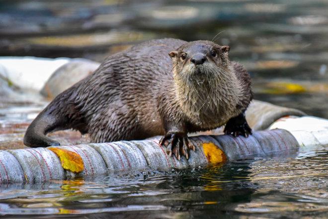 river otter on raft.