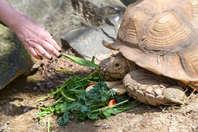 guest feeding a tortoise a piece of lettuce.