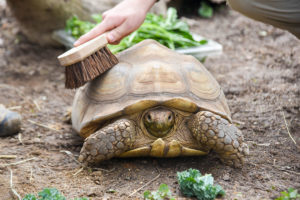 guest brushing a tortoise shell.
