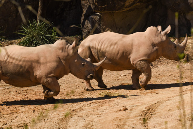 Two Southern white rhinos.