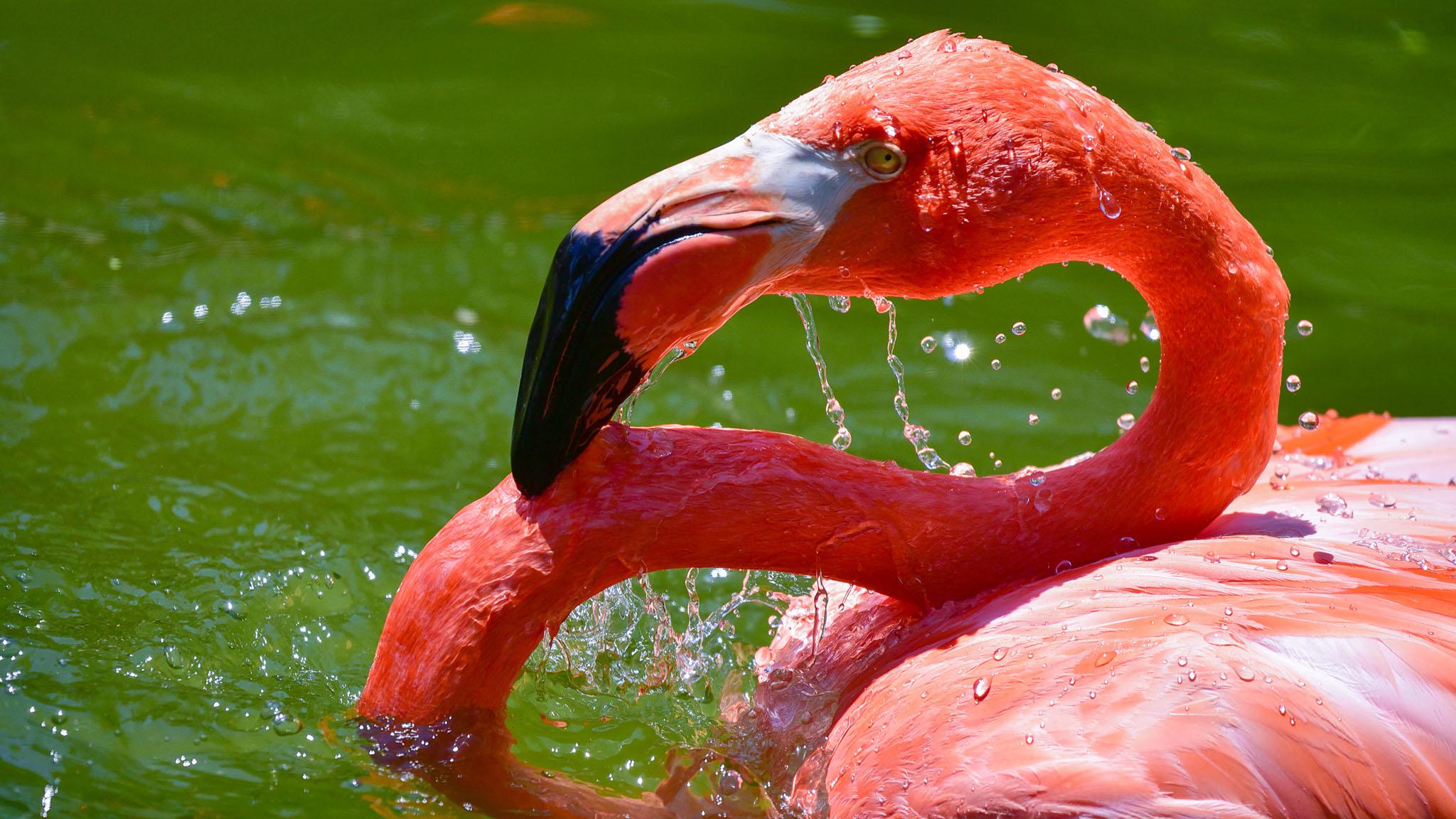 flamingo in water.