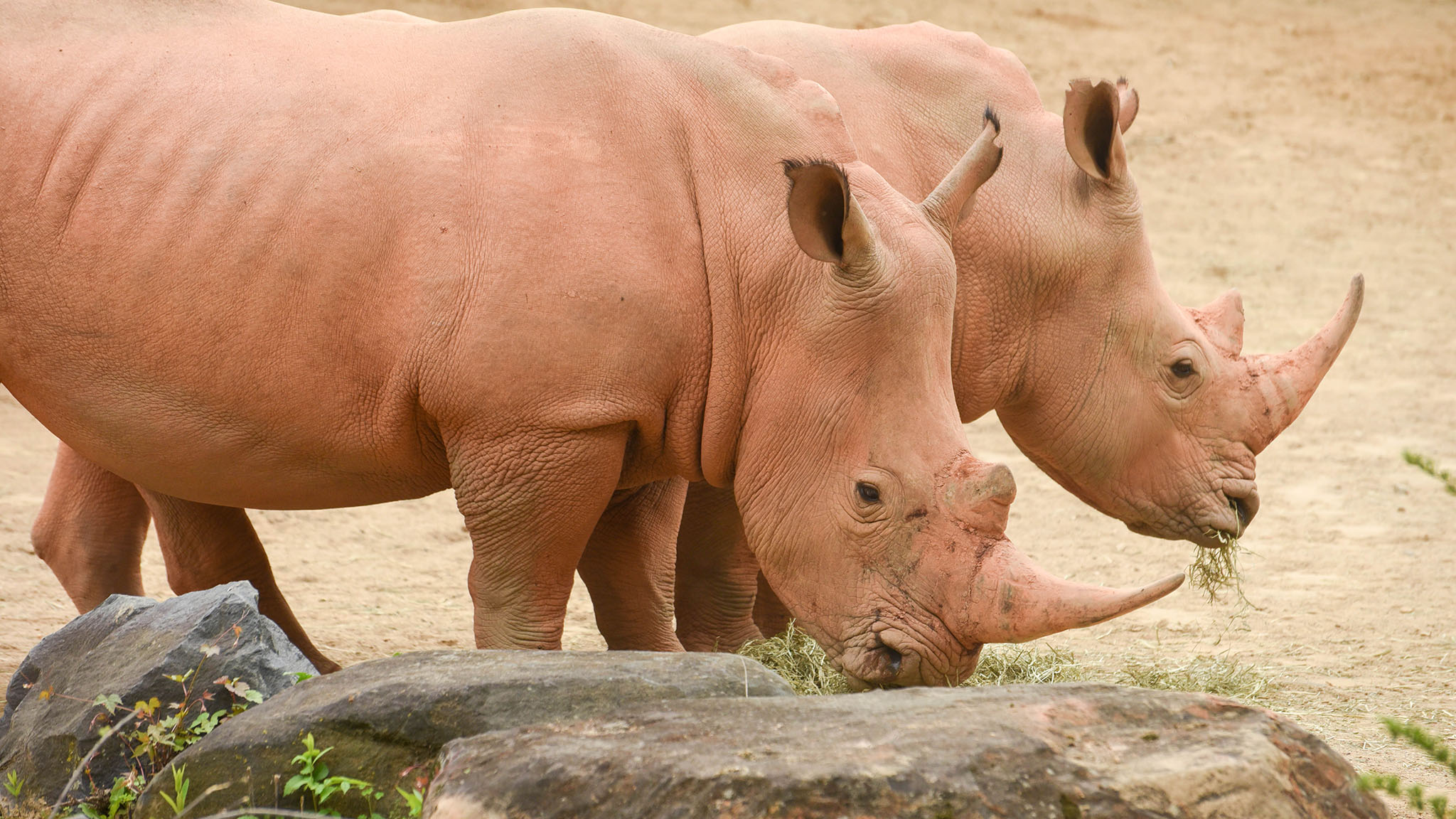 two rhinos looking down.