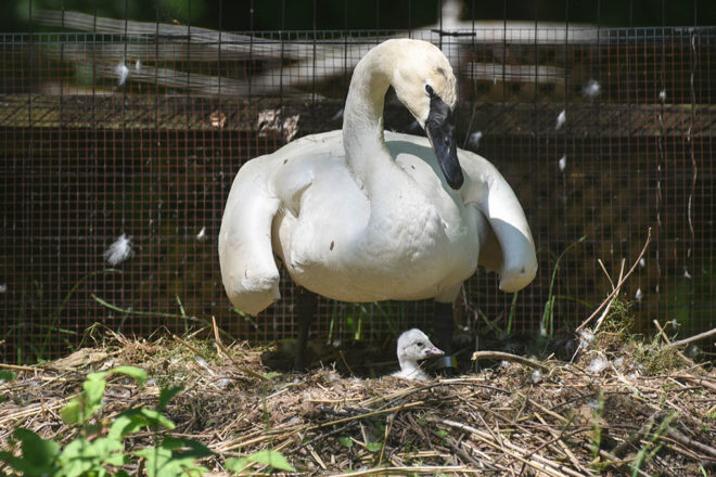 Trumpeter Swan with Cygnet in Nest.
