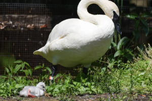 Trumpeter Swan with Cygnet.