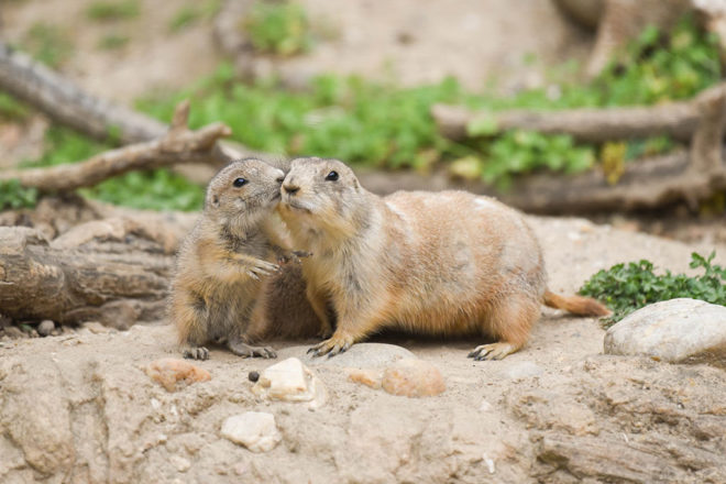 Prairie Dog with Pup.