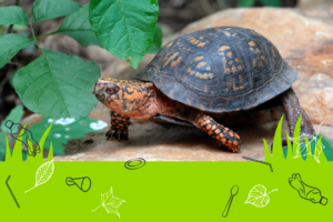 box turtle on rock.