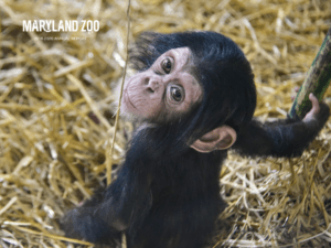baby chimp on the front cover of the annual report.