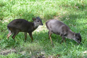 two duikers standing in grass.