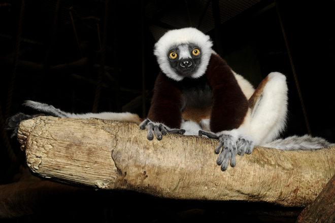 sifaka lemur on branch