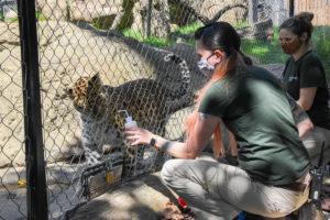 animal keepers training leopard