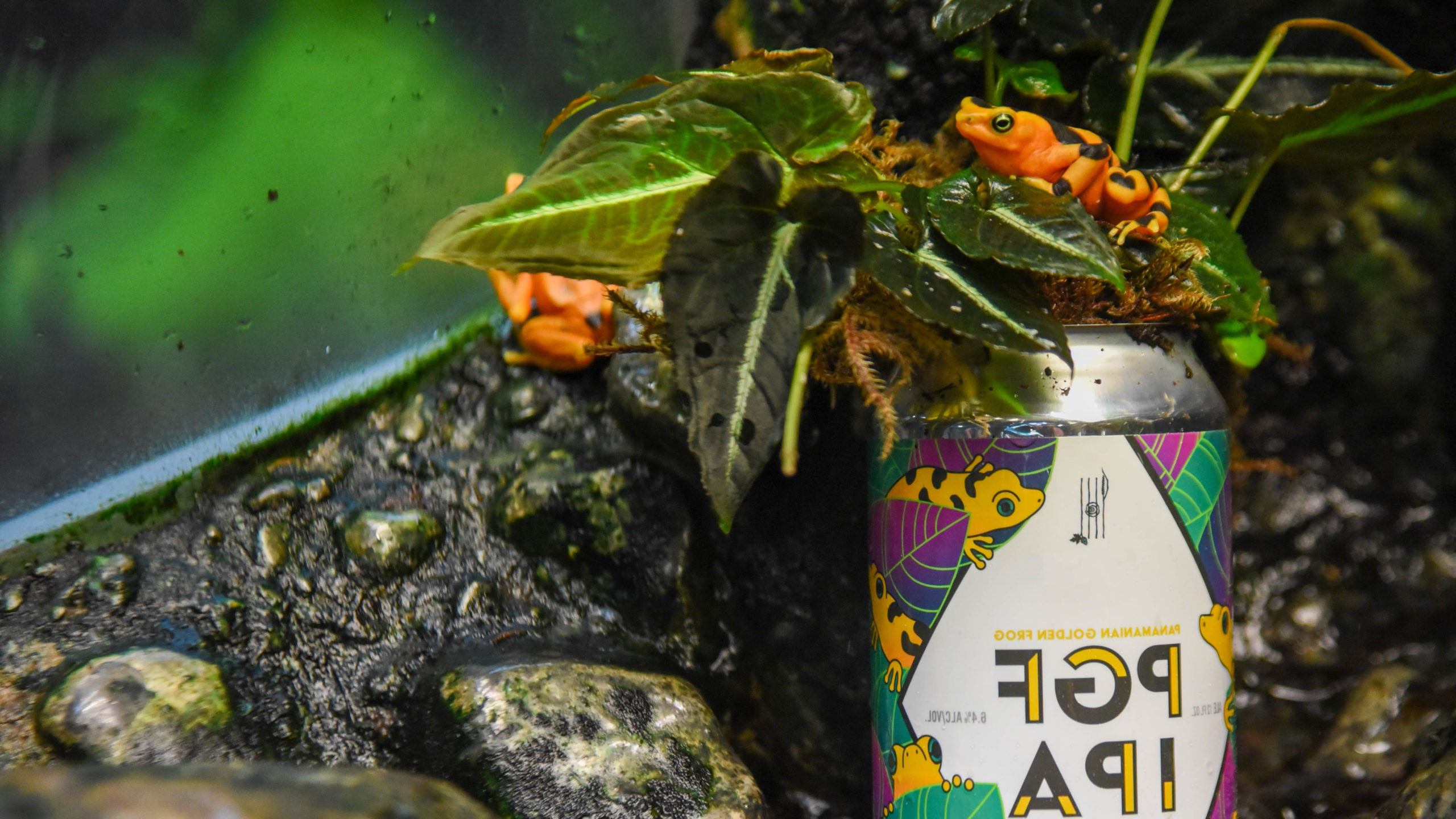 golden frog sitting on beer can